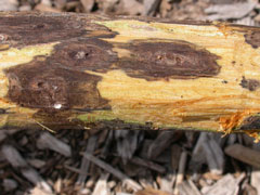 cankers on walnut branch